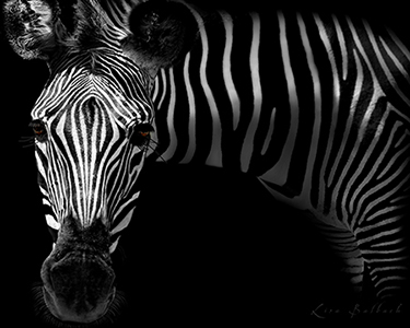 high-contrast zebra
